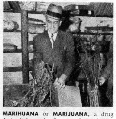 выращивание марихуаны в сша