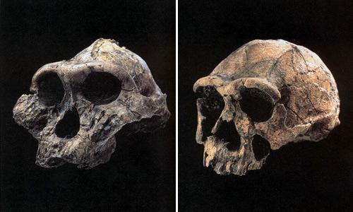 Слева – череп австралопитека, справа – человека прямоходящего